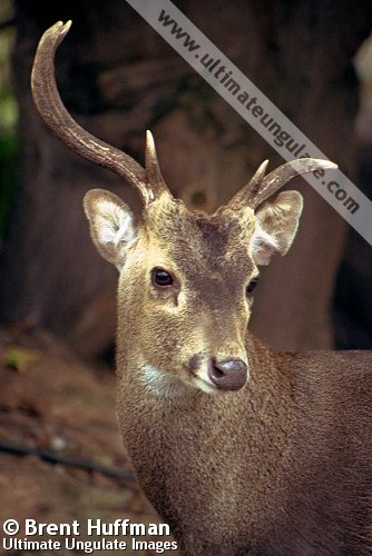 Bawean Deer Axis Kuhlii Quick Facts
