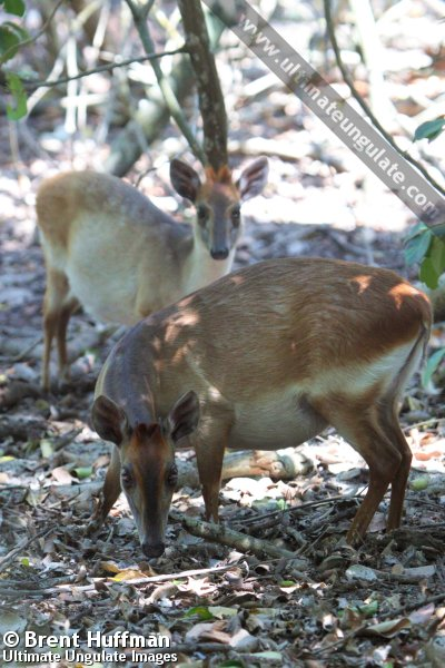 Aders S Duiker Cephalophus Adersi Quick Facts