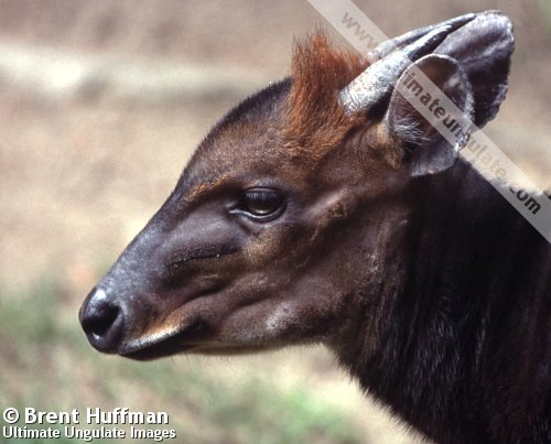 black duiker cephalophus niger quick facts
