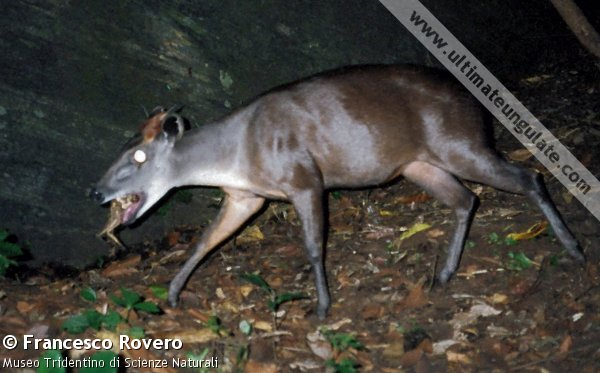 Taken by a remote-sensing camera, this is one of the first photographs of a wild Abbotts duiker (Cephalophus spadix). The duiker appears to be chewing on a frog.