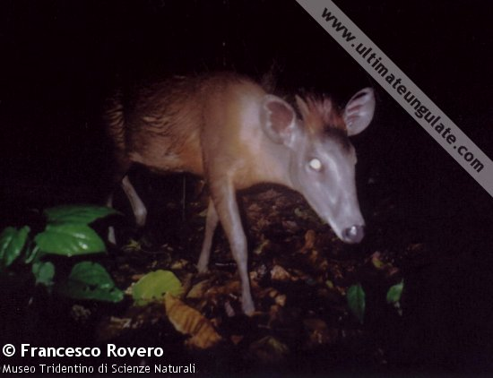 A camera trap image of an Abbotts duiker (Cephalophus spadix). The bushy crest is very obvious.