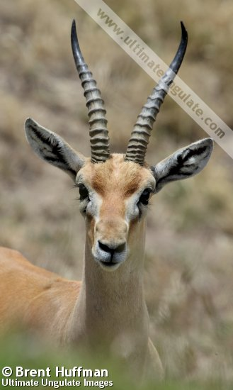Red Fronted Gazelle Eudorcas Rufifrons Quick Facts