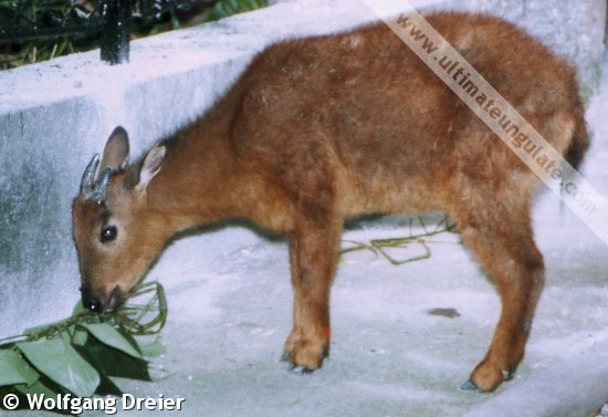 Red Goral Naemorhedus Baileyi Quick Facts