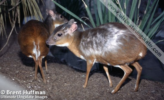 N Ungulate Royal antelope (Neotra...