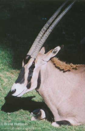 http://www.ultimateungulate.com/Images/Oryx_beisa/O_beisa2.jpg