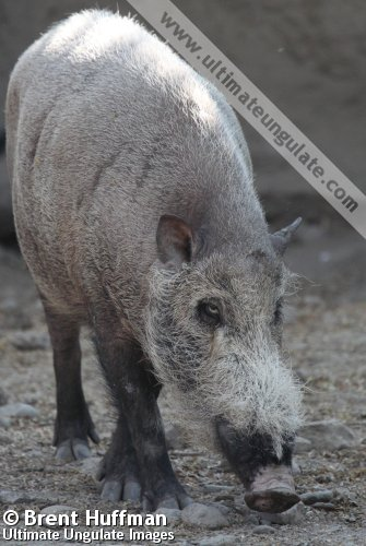 Bearded Pig Sus Barbatus Quick Facts
