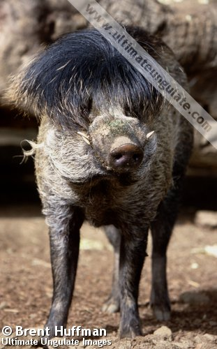 Visayan Warty Pig Sus Cebifrons Quick Facts