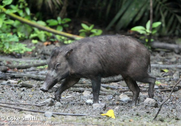 babi Sulawesi | ultimateungulate