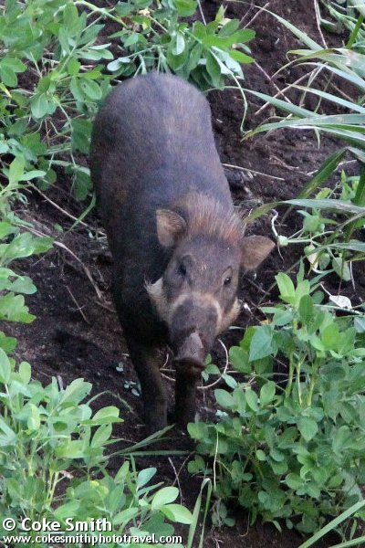 Sulawesi Warty Pig Sus Celebensis Quick Facts