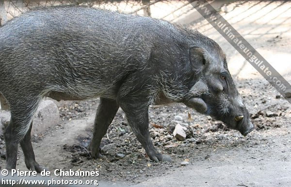 Javan Warty Pig Sus Verrucosus Quick Facts